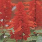 花の種(営利用) サルビア スプレンデンス種 モハベ 1000粒 タキイ種苗