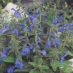花の種(営利用) サルビア パテンス種 パティオ ディープブルー 500粒 タキイ種苗