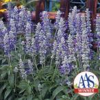 花の種(営利用) サルビア ファリナセア種 ストラータ  10ml×10 タキイ種苗