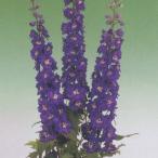 花の種(営利用) デルフィニウム エラータム種 F1オーロラ ディープパープルインプ 10ml タキイ種苗