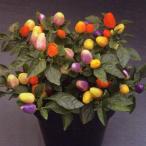 花の種(営利用)観賞用とうがらし クバーナ マルチカラーレッド 500粒 タキイ種苗(メール便発送)