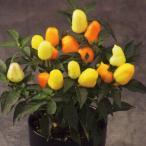 花の種(営利用)観賞用とうがらし クバーナ マルチカラーオレンジ 500粒 タキイ種苗(メール便発送)
