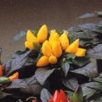 花の種(営利用)観賞用とうがらし サルサ イエロー 500粒 タキイ種苗(メール便発送)