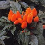 花の種(営利用)観賞用とうがらし サルサ ディープオレンジ 500粒 タキイ種苗(メール便発送)