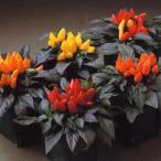 花の種(営利用)観賞用とうがらし サルサ ミックス 500粒 タキイ種苗(メール便発送)