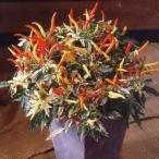 花の種(営利用)観賞用とうがらし ウチュウ クリームレッド 500粒 タキイ種苗(メール便発送)