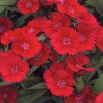花の種(営利用) なでしこ F1テルスター バーガンディ 1ml タキイ種苗