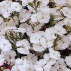 花の種(営利用) なでしこ F1テルスター ホワイト 1ml タキイ種苗