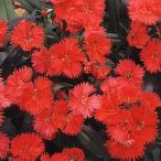 花の種(営利用) なでしこ F1テルスター コーラル 10ml タキイ種苗