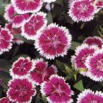 花の種(営利用) なでしこ F1テルスター パープルピコティ 1ml タキイ種苗