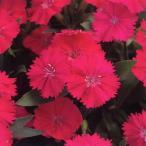 花の種(営利用) なでしこ F1テルスター オーキッド 1ml タキイ種苗