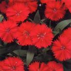 花の種(営利用) なでしこ F1テルスター カーマインローズインプ 1ml タキイ種苗