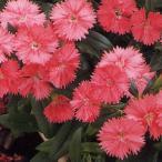 花の種(営利用) なでしこ F1テルスター サーモン 1ml タキイ種苗
