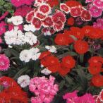 花の種(営利用) なでしこ F1テルスター 混合 1ml タキイ種苗