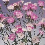 花の種(営利用) なでしこ 高性種 F1初恋 1ml×10 タキイ種苗