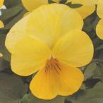花の種(営利用) F1ナチュレ系 F1ナチュレ クリアレモン 1000粒×10 クリスタルコート種子 タキイ種苗