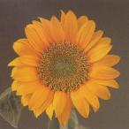 花の種(営利用)F1サンリチ ひまわり 55日タイプ F1サンリチ フレッシュレモン 1000粒 タキイ種苗(メール便発送)