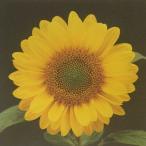 花の種(営利用)F1サンリチ ひまわり 55日タイプ F1サンリチ フレッシュオレンジ 1000粒 タキイ種苗(メール便発送)