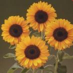 花の種(営利用) F1サンリチ ひまわり 50日タイプ F1サンリチ バレンシア50(TH-712) 1000粒 タキイ種苗