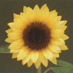 花の種(営利用) F1サンリチ ひまわり 50日タイプ F1サンリチ バナナ50 1000粒 タキイ種苗
