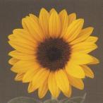 花の種(営利用)F1サンリチ ひまわり 50日タイプ F1サンリチ マンゴー50 1000粒×10 タキイ種苗