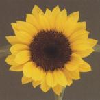 花の種(営利用)F1サンリチ ひまわり 50日タイプ F1サンリチ レモン50 1000粒 タキイ種苗(メール便発送)