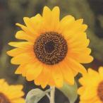 花の種(営利用)ひまわり 高性種 F1大輪一重咲き黄色 1l タキイ種苗(メール便発送)