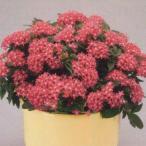 花の種(営利用)ペンタス F1グラフティ ローズ 500粒 ペレット種子 タキイ種苗(メール便発送)