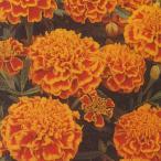 花の種(営利用) マリーゴールド ボナンザ フレーム 1000粒 タキイ種苗