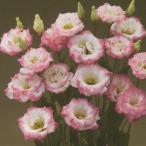 花の種(営利用)八重咲き系(中生種)F1マリーナ ピンクリップス(TU-692)3000粒 ペレット種子 タキイ種苗(メール便発送)