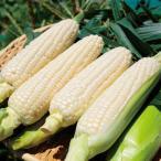 野菜の種/種子 クリスピーホワイト・とうもろこし トウモロコシ 200粒(メール便発送)サカタのタネ 種苗