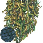 野菜の種/種子 丹波黒大粒大豆・大豆 40ml(メール便可能)タキイ種苗