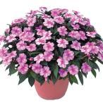 花の苗 サンパチェンス/ラベンダースプラッシュ/3ポットセット/10.5cmポット 花苗