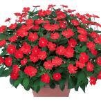 花の苗 サンパチェンス/スカーレット/3ポットセット/10.5cmポット 花苗