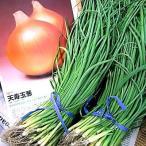 Yahoo!ベジタブルガーデン ハラダ野菜の苗 中晩生 天寿玉葱・玉ねぎ苗 タマネギ お得な500本入