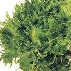 野菜の種/種子 ハンサムグリーン フリルレタス コート1000粒(大袋)