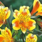 花の苗  ガーデンアルストロメリア  サマーブリーズ/1ポット/10.5cmロングポット/鉢植え/花壇/切り花/宿根 花苗(4月中旬より順次発送)