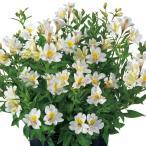 花の苗  ガーデンアルストロメリア  サマースノー/1ポット/10.5cmロングポット/鉢植え/花壇/切り花/宿根 花苗(4月中旬より順次発送)