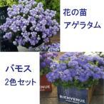 花の苗  栄養系アゲラタム バモス ブルーバイカラー・ブルー/2色セット/10.5cmポット/鉢植え/花壇/花苗(4月下旬より順次発送)