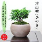 津山檜盆栽 ミニ盆栽 bonsai ぼんさい ひのき 初心者 入門 ギフト ラッピング 人気