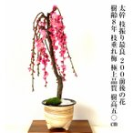 盆栽 梅 枝垂れ梅 しだれ梅 200前後の蕾付 盆栽 初心者 室内 ミニ 趣味 ギフト