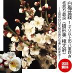 ショッピング梅 盆栽 梅 一級品 白花梅 120個前後の蕾 白花の八重咲き盆栽 枝振りが抜群に良い迫力ある樹姿