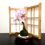 苔玉 桜 盆栽 牡丹桜 八重桜 室内 初心者 ミニ盆栽 誕生日 プレゼント ギフト 癒し 観葉