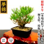 盆栽 松 錦松 樹齢13年 渾身の傑作 極太幹の「夢錦」