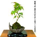 もみじ苔玉「一級品 極美葉の山もみじ」日本の美 年間通じて楽しめる初心者でも安心の盆栽