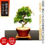 もみじ盆栽「一級品 極美葉の山もみじ」日本の美 年間通じて楽しめる初心者でも安心の盆栽