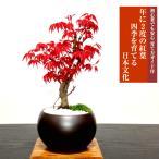 即日出荷可 もみじ盆栽 年に2度紅葉する出猩々もみじ 日本の美 年間通じて楽しめる初心者でも安心の盆栽