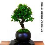 盆栽 欅 樹齢8年 丸笠樹形 極太幹の楡欅 ミニ盆栽 ニレケヤキ