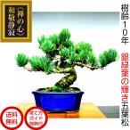 盆栽 松 五葉松 銀緑葉の癒し《禅の心五葉松》樹齢10年 極太幹 樹形美 枝振りの良い五葉松