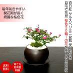 母の日 盆栽 ミニ 初心者 室内 ギフト 姫サルスベリ プチ盆栽